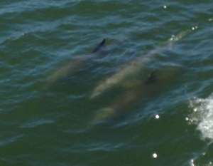 Dolphins beside the boat