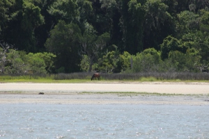 Wild horse left by the Spanish on Cumberland Island