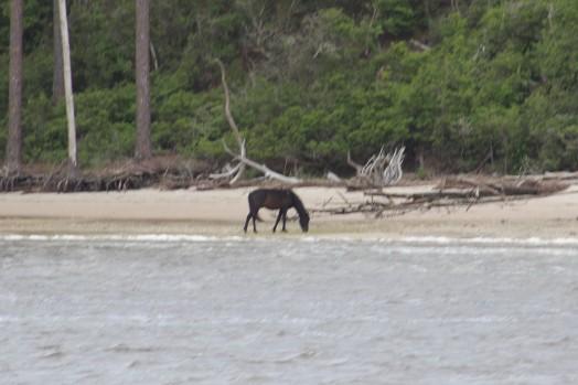 IMG_0008, horse on Cumberland Island.JPG