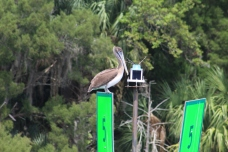 IMG_0017_Brown Pelican