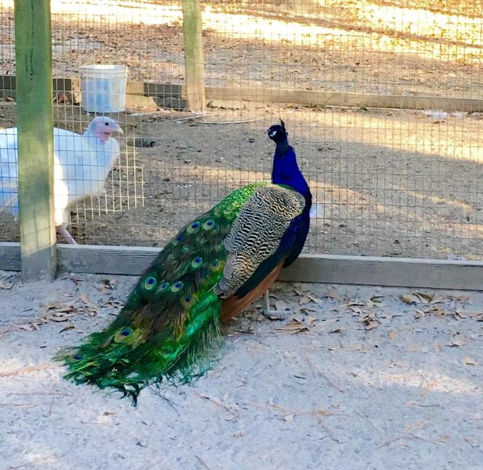 waverly-peacock