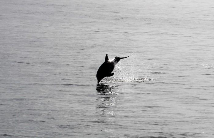 17-dolphin