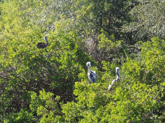 12-pelicans-in-mangrove-trees