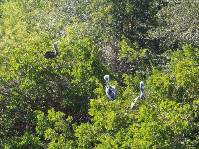12-pelicans-in-mangrove-trees