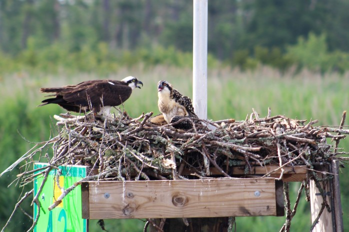 4 Osprey and Chick