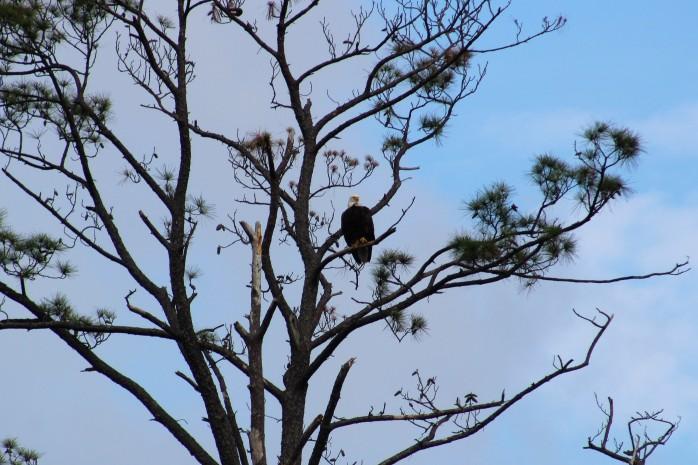 5 Bald Eagle