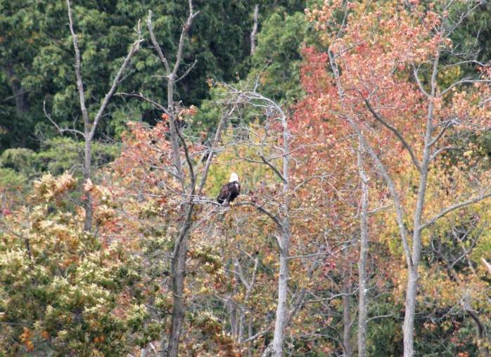 7 Bald Eagle C&D Canal