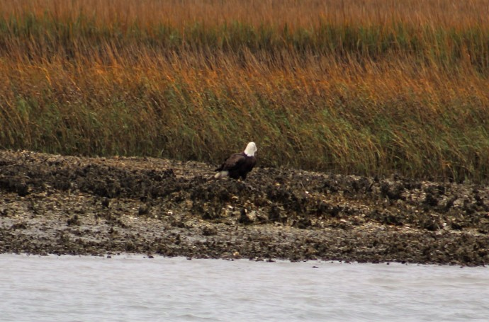 8 Bald Eagle