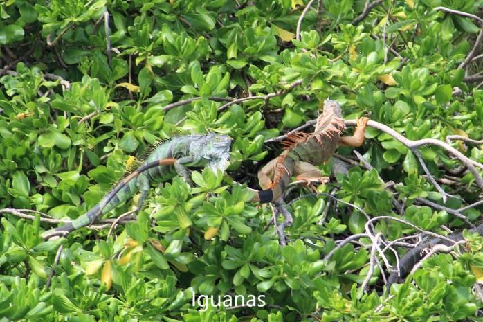 43 Iguanas