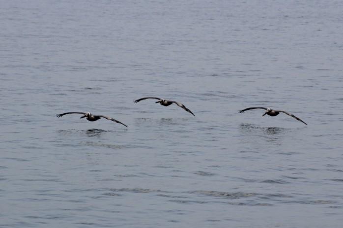 13 Pelican Glide Pattern