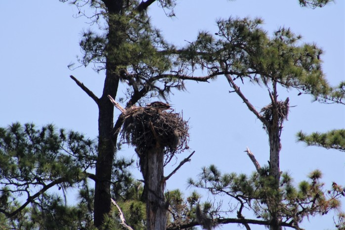 18 Osprey Nest