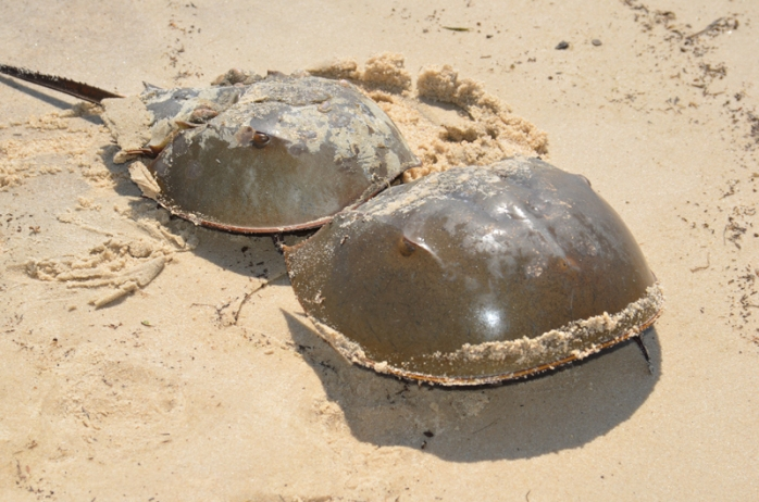 2013-05-Horseshoe-Crabs-web[1]
