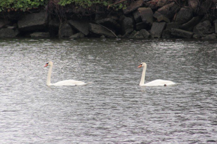 22 Swans in Haverstraw Cove