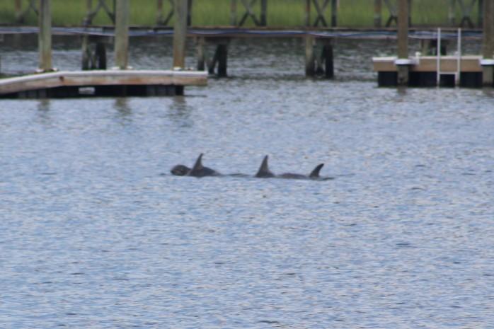 8 Dolphins feeding
