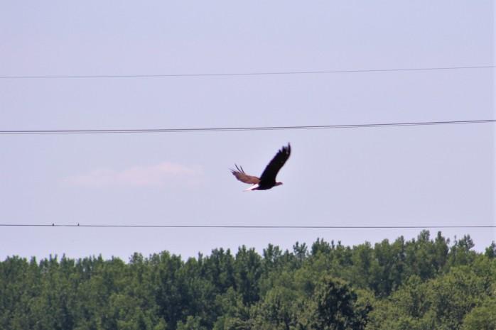 16 Bald Eagle