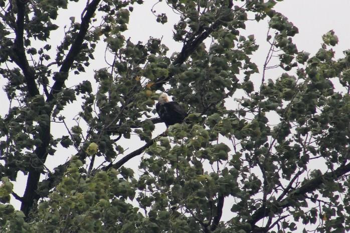 28 Bald Eagle