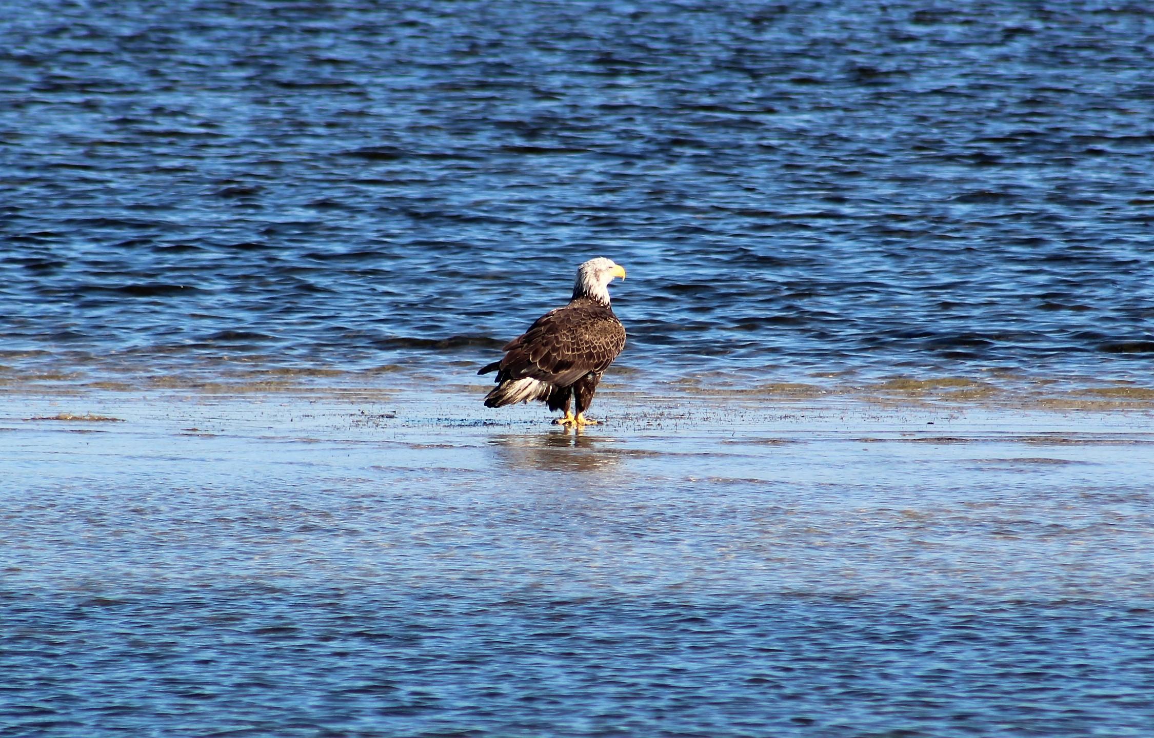 109 bald eagle